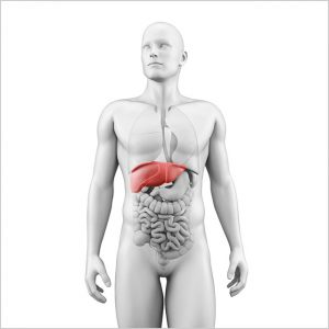 location of the liver