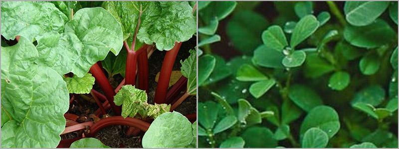 weight loss herbs